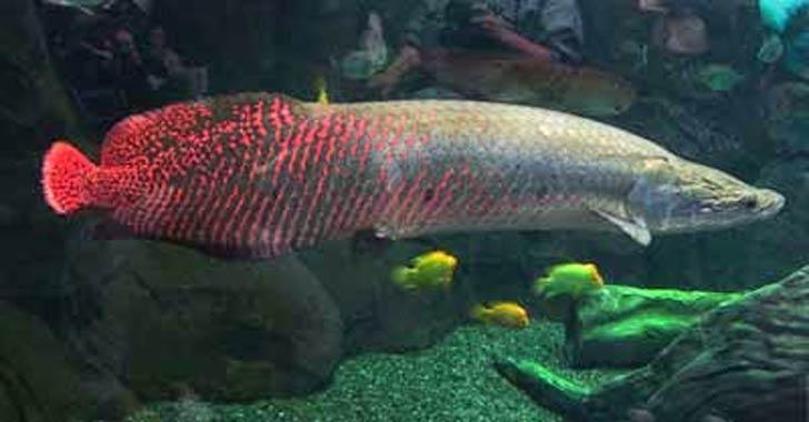 Ikan-Purba-Yang-Masih-Hidup-Sampai-Sekarang-01