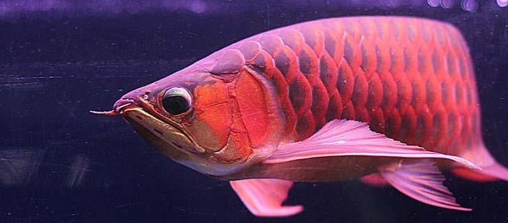 Ikan-Arwana-Termahal-Di-Dunia-01