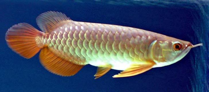 Ikan-Arwana-Termahal-Di-Dunia-03