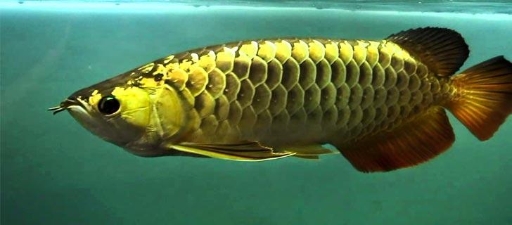 Ikan-Arwana-Termahal-Di-Dunia-04