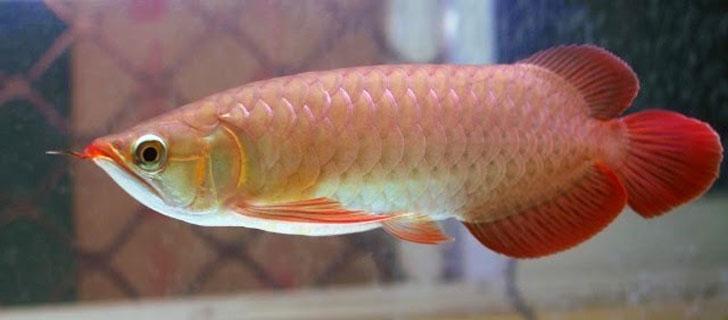 Ikan-Arwana-Termahal-Di-Dunia-05