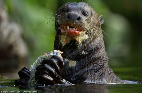 Hewan Aneh Di Sungai Amazon