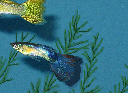 Ikan Hias Air Tawar Terindah