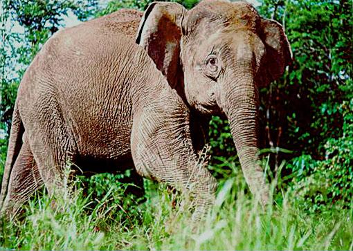 55 Gambar Hewan Langka Gajah Sumatera Terbaik