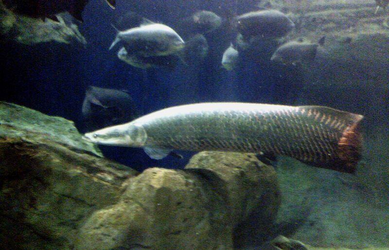 Ikan Naga