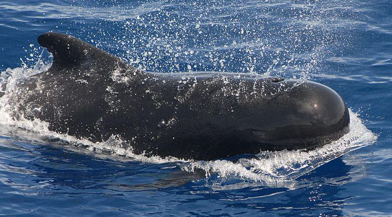 Wikipedia Dunia Ikan Paus Terbesar Di Dunia Kamu Wajib Tahu