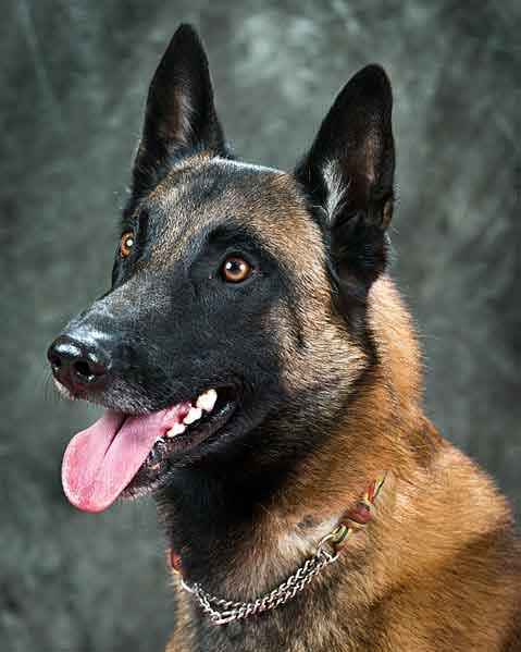 Jenis Anjing Polisi