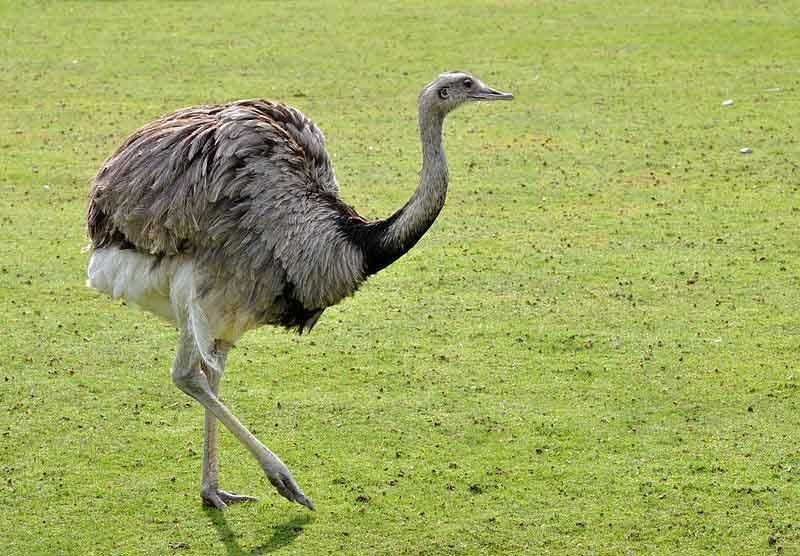 Burung Yang Tidak Bisa Terbang